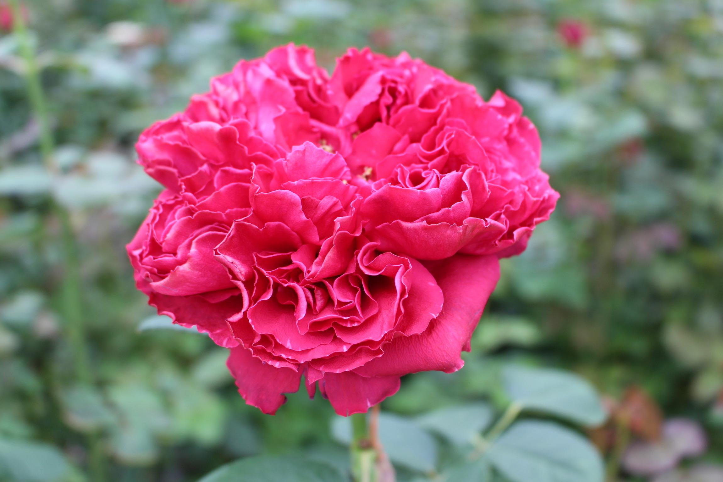 Raspberry Elegance