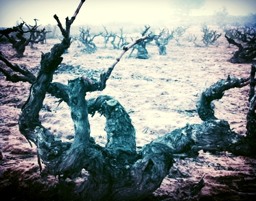 Gnarly, old Tinto Fino Vines