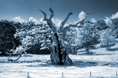 The Laund Oak, Bolton Abbey, North Yorkshire - Reputably the oldest oak tree in Wharfedale dating from the 1200s