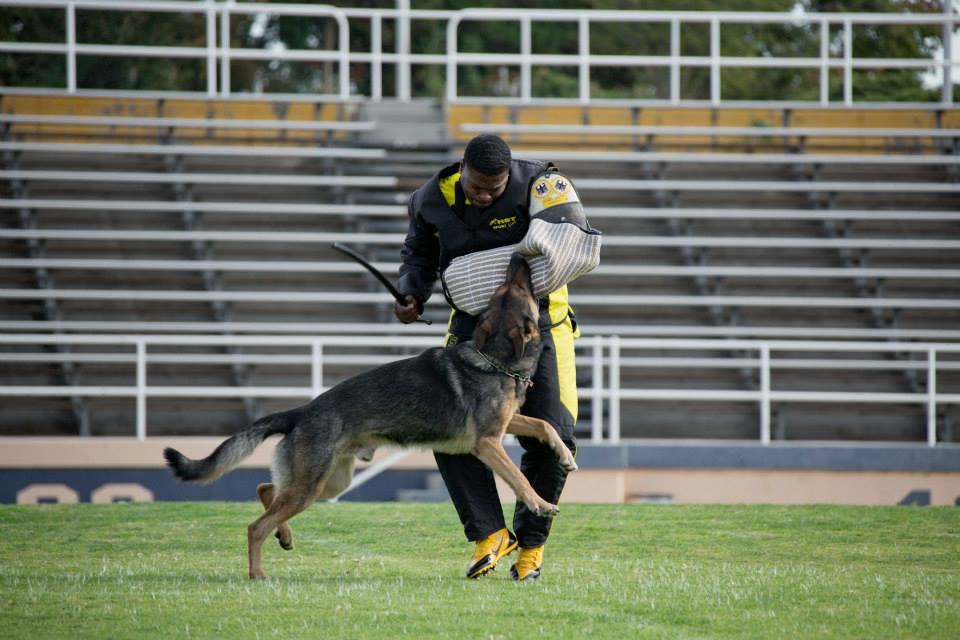 "IPO tests the dog's mental stability, courage, fortitude, temperament, natural abilities, and desire to work with man. Photo: Carissa's ""Axel"" with helper Marcus Hampton during the 2013 USCA GSD IPO3 National Championship. Photo by Perfect Recall Media."