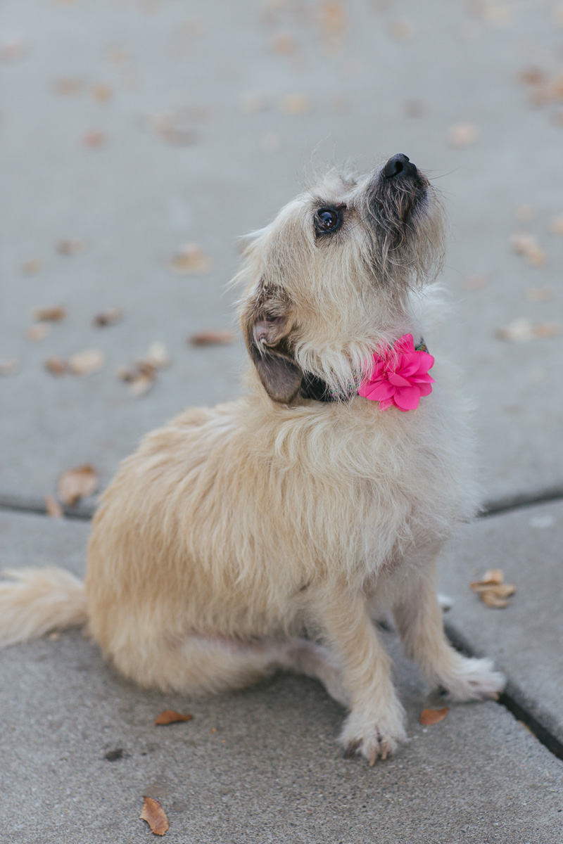uc-davis-engagement-session-dog-photographer-6.jpg