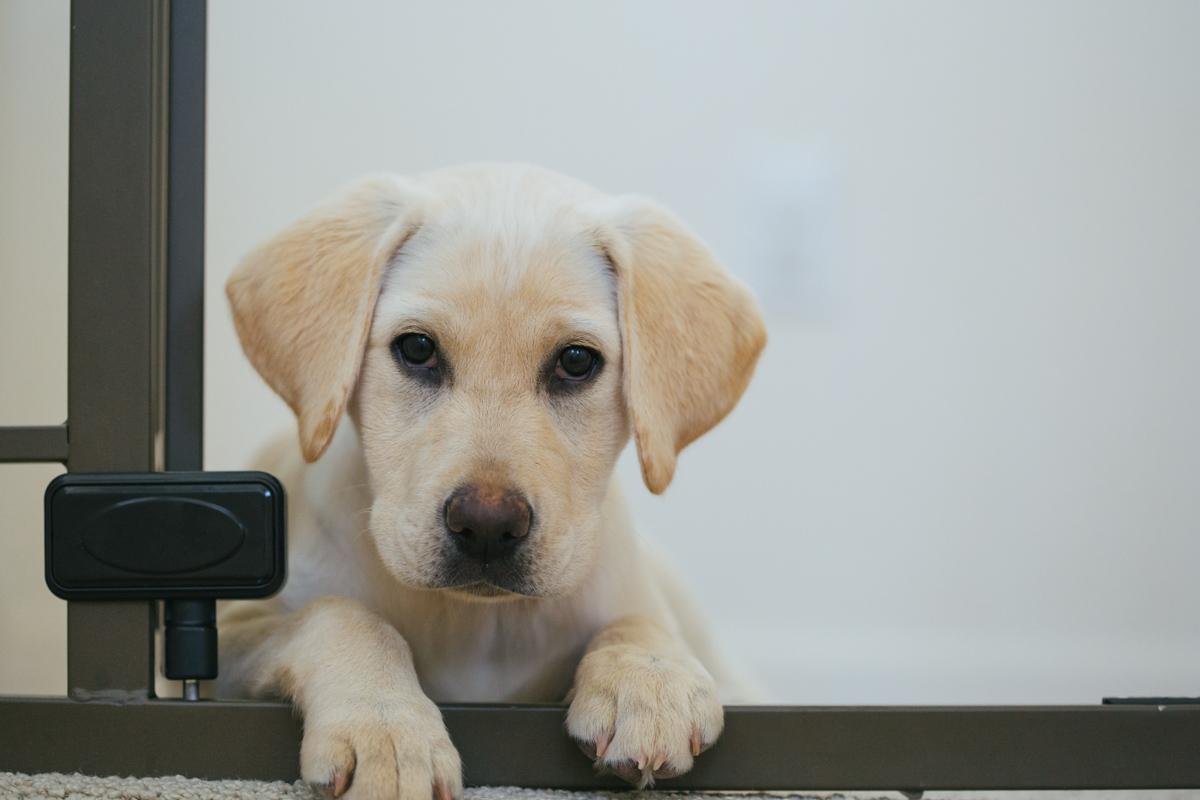 labrador-yellow-puppy-at-home-1.jpg