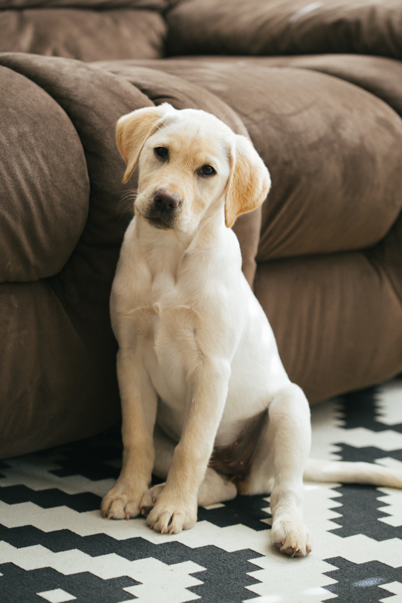 labrador-yellow-puppy-at-home-6.jpg