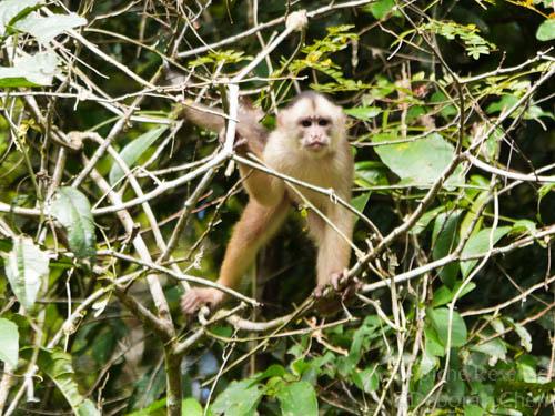 White-fronted capuchin