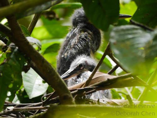 Agami Heron hatchlings