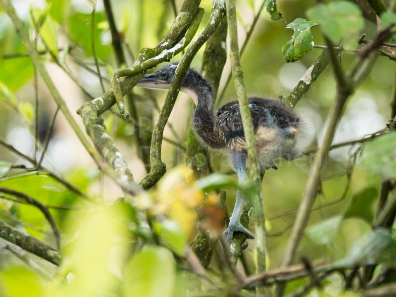 Watchful baby Agami Heron. Tapiche Reserve, Peru