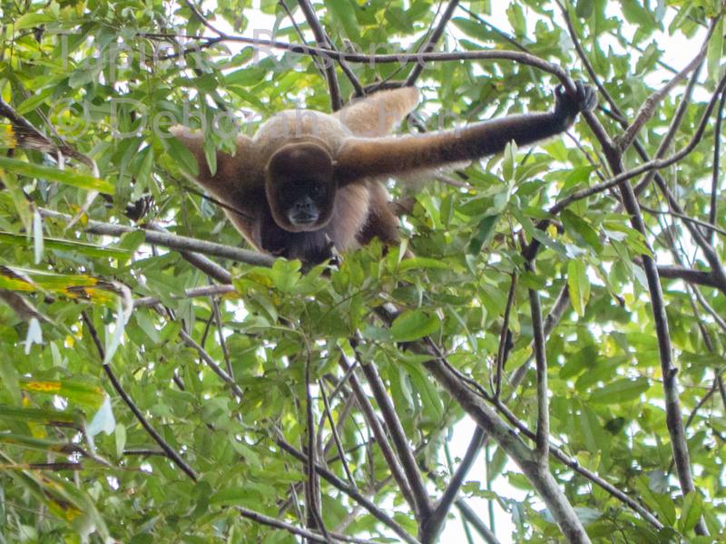Woolly monkey, Tapiche Reserve, Peru.