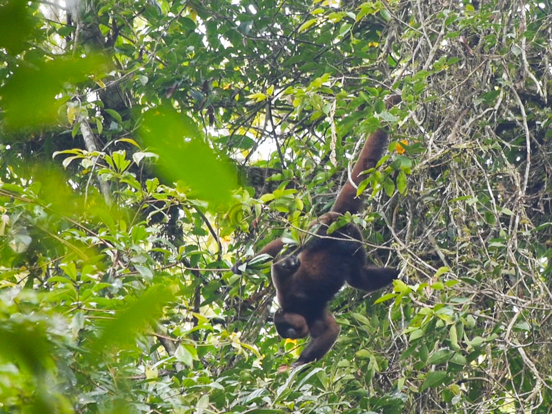 Woolly monkey with chubby cheek pouches. Tapiche Reserve, Peru