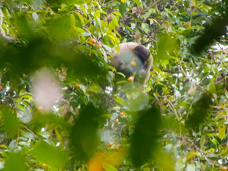 Woolly monkey. Tapiche Reserve, Peru