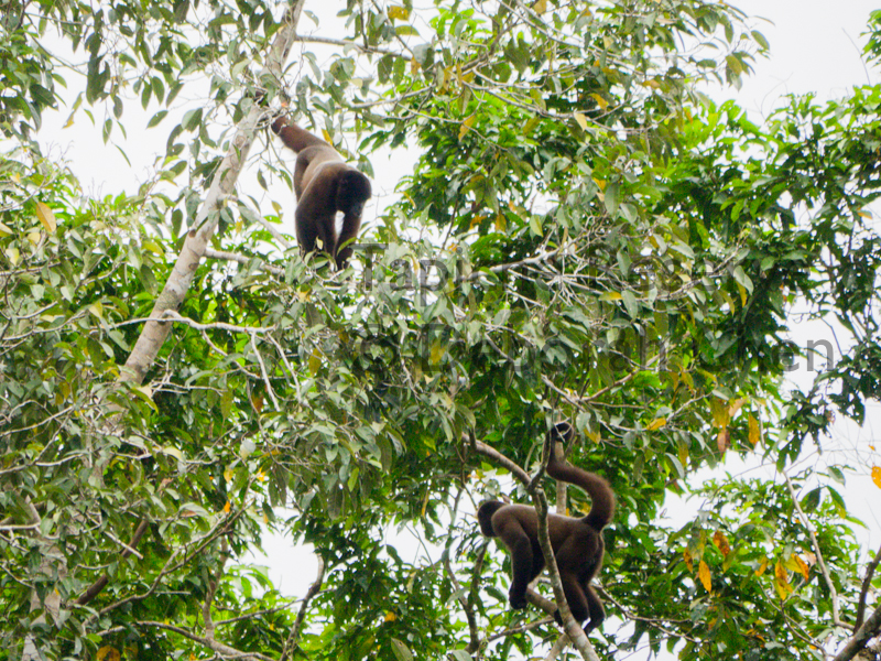 Two juvenile woolly monkeys practice climbing skills as they forage. Tapiche Reserve, Peru