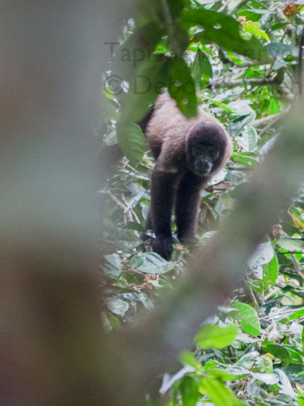 Woolly monkey. Tapiche Reserve, Peru.
