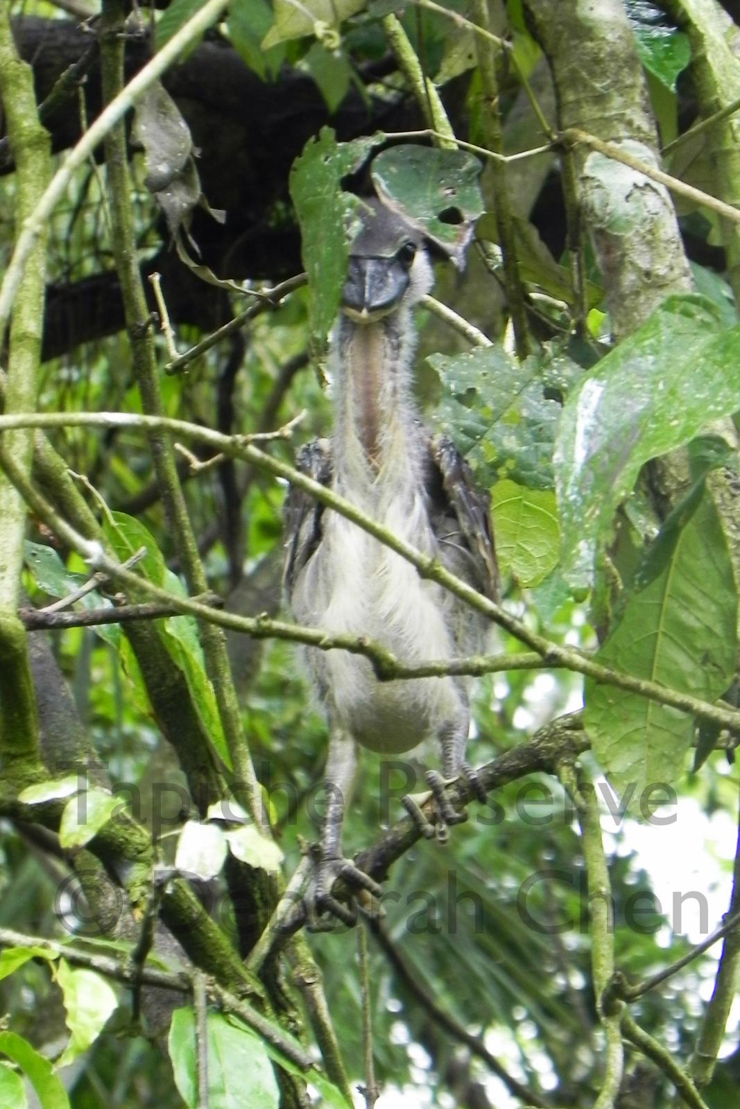 Baby Boat-billed Heron. Tapiche Reserve, Peru