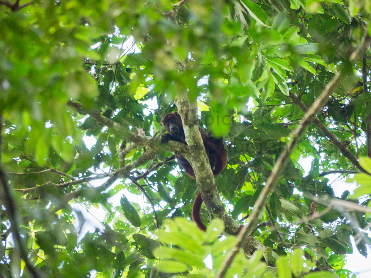 Red howler monkey cannot stop her curious backpack from peeking around. Tapiche Reserve, Peru