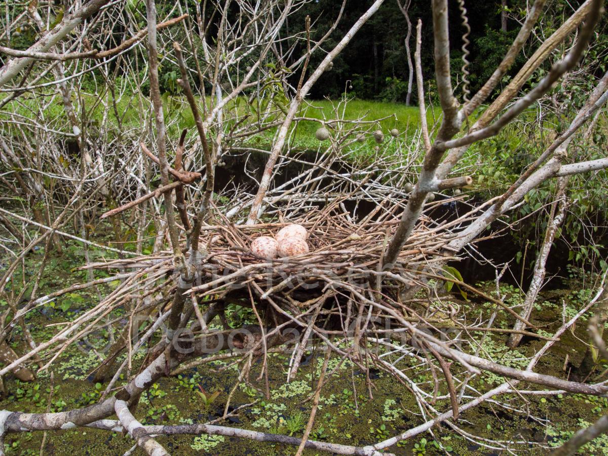 Hoatzin nest with eggs. Tapiche Reserve, Peru