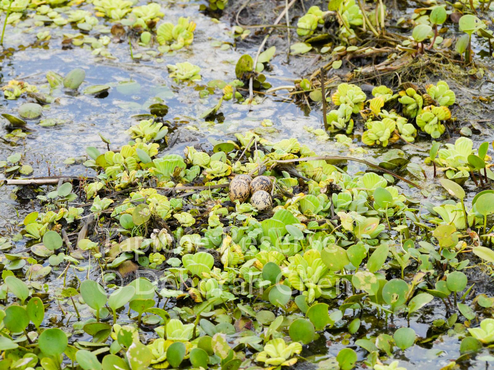 Wattled Jacana nest with eggs. Tapiche Reserve, Peru