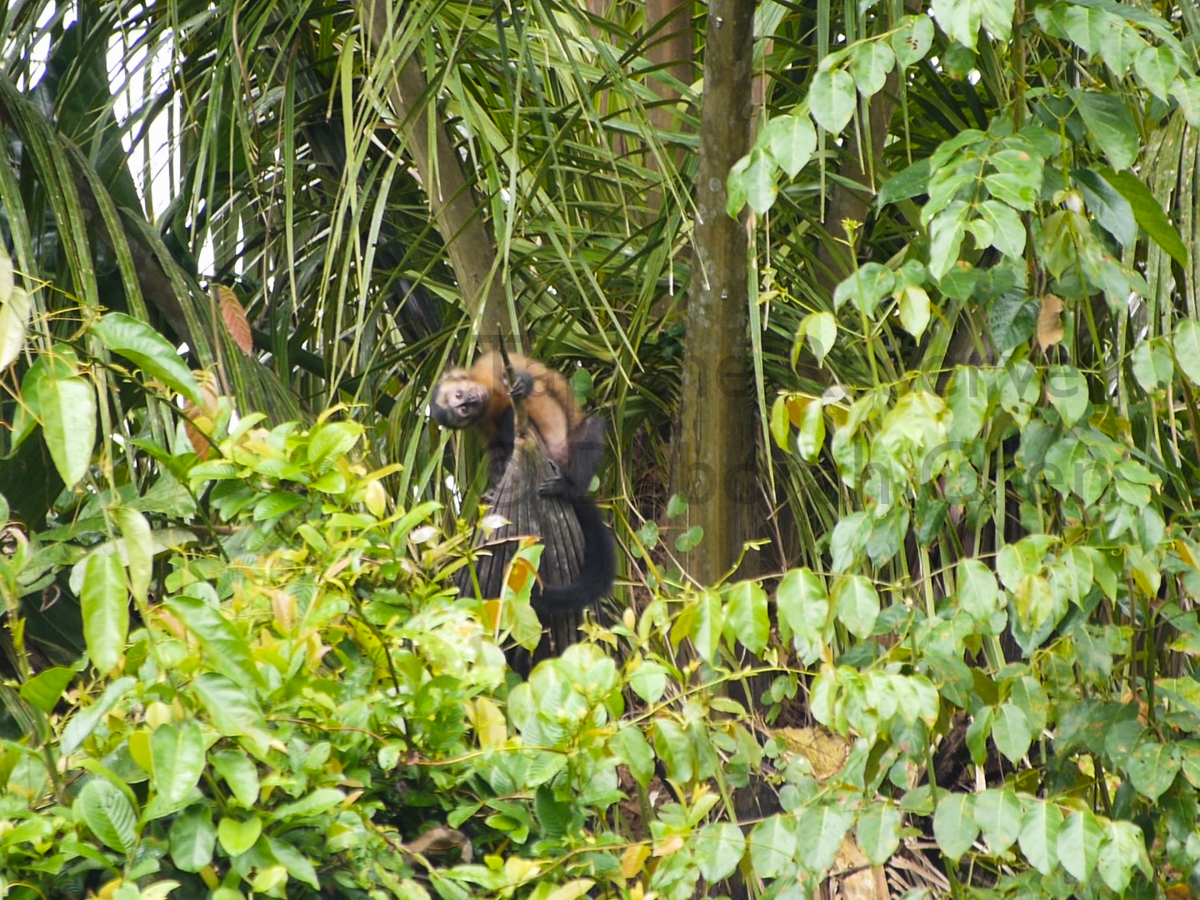 Young brown capuchin monkey looking for a playmate. Tapiche Reserve, Peru