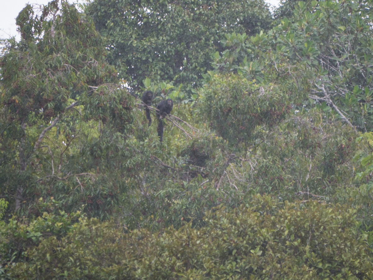 Mama and baby monk saki monkeys pause in the rain to observe our boat as we pass. Tapiche Reserve, Peru