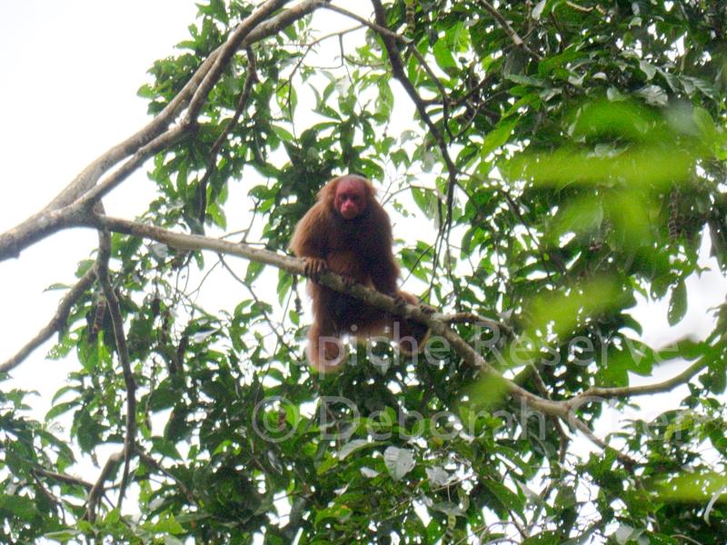 Red uakari, Tapiche Reserve, Peru