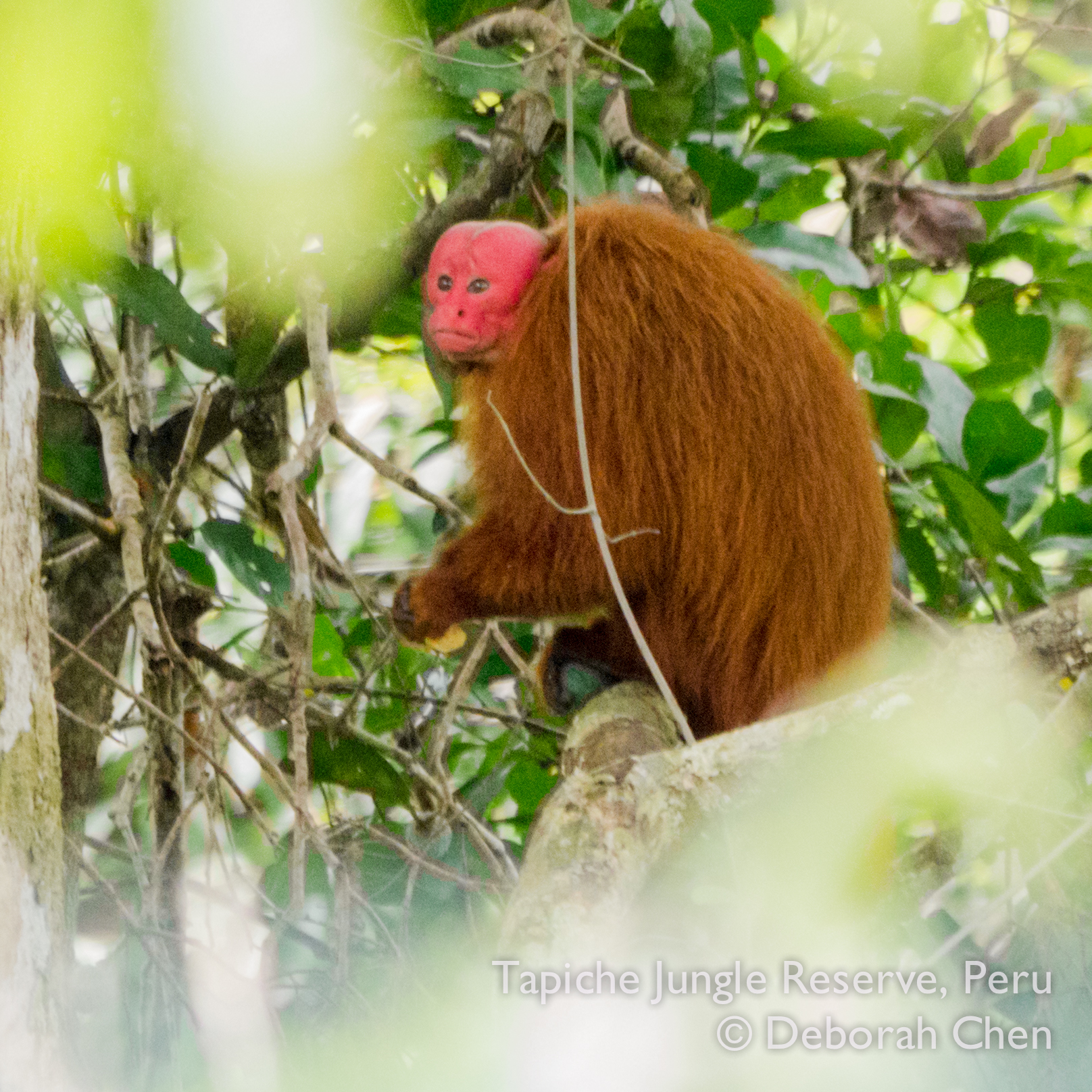 Male red bald uakari monkey, notice the green fruit gripped in the hind foot