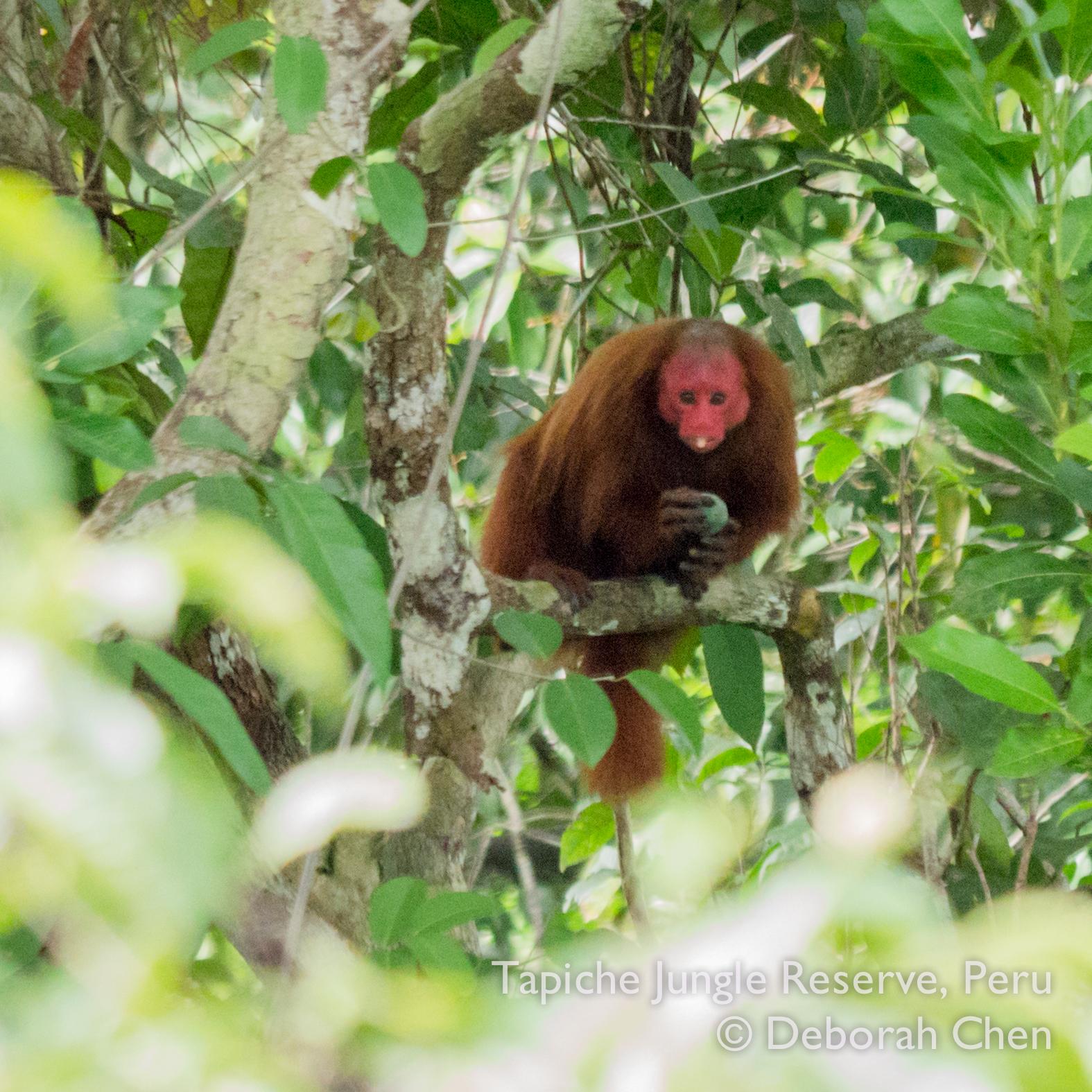 Female red bald uakari monkey stuffing her cheeks (literally)
