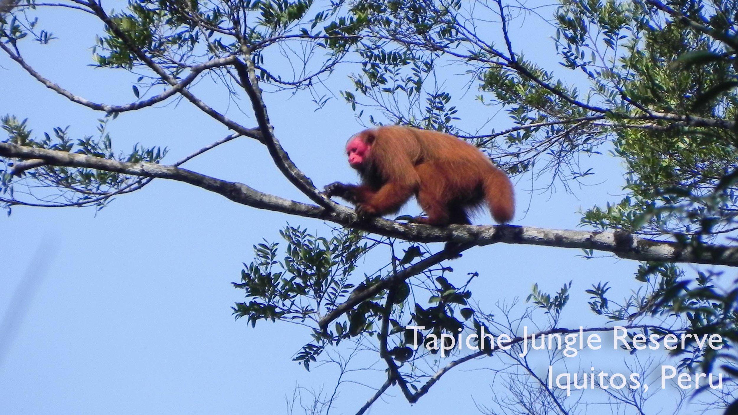 Tapiche-Amazon-Jungle-Tour-Peru-Red-Bald-Uakari-walking.jpg