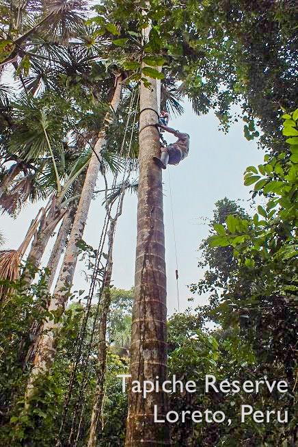 Tapiche-Amazon-Jungle-Tour-Peru-climbing-aguaje-buriti-palm-tree