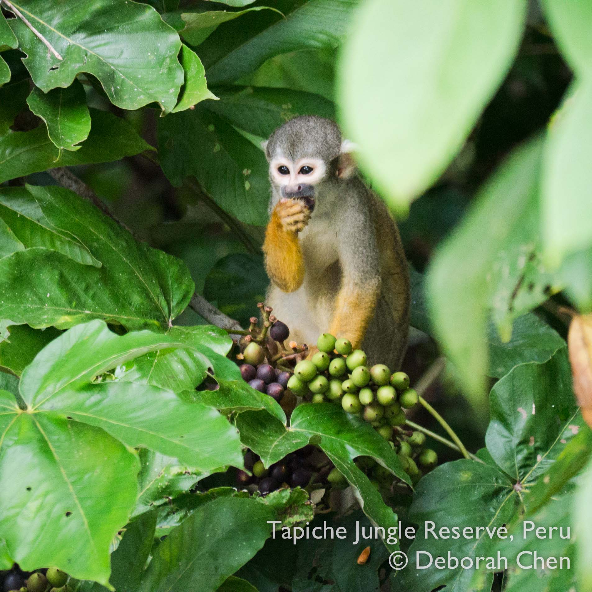 Squirrel monkey feasting on wild jungle fruits at the Tapiche Jungle Reserve, Peru