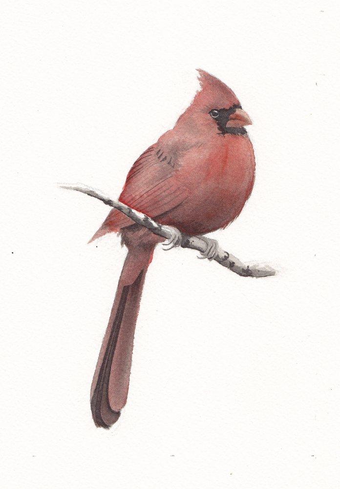 Cardinal1 - reduced.jpg