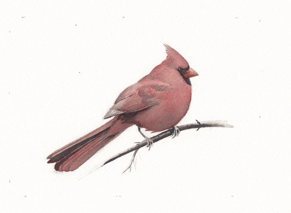 Cardinal2 - reduced.jpg