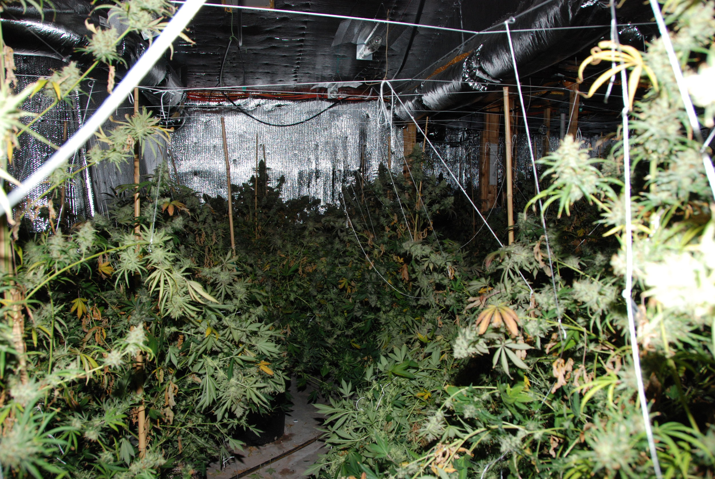 PHOTO: Cape Coral Police Department busted 2 additional marijuana grow houses linked to Jair Baluja-Martinez. (Photo Courtesy ofCape Coral Police Department)