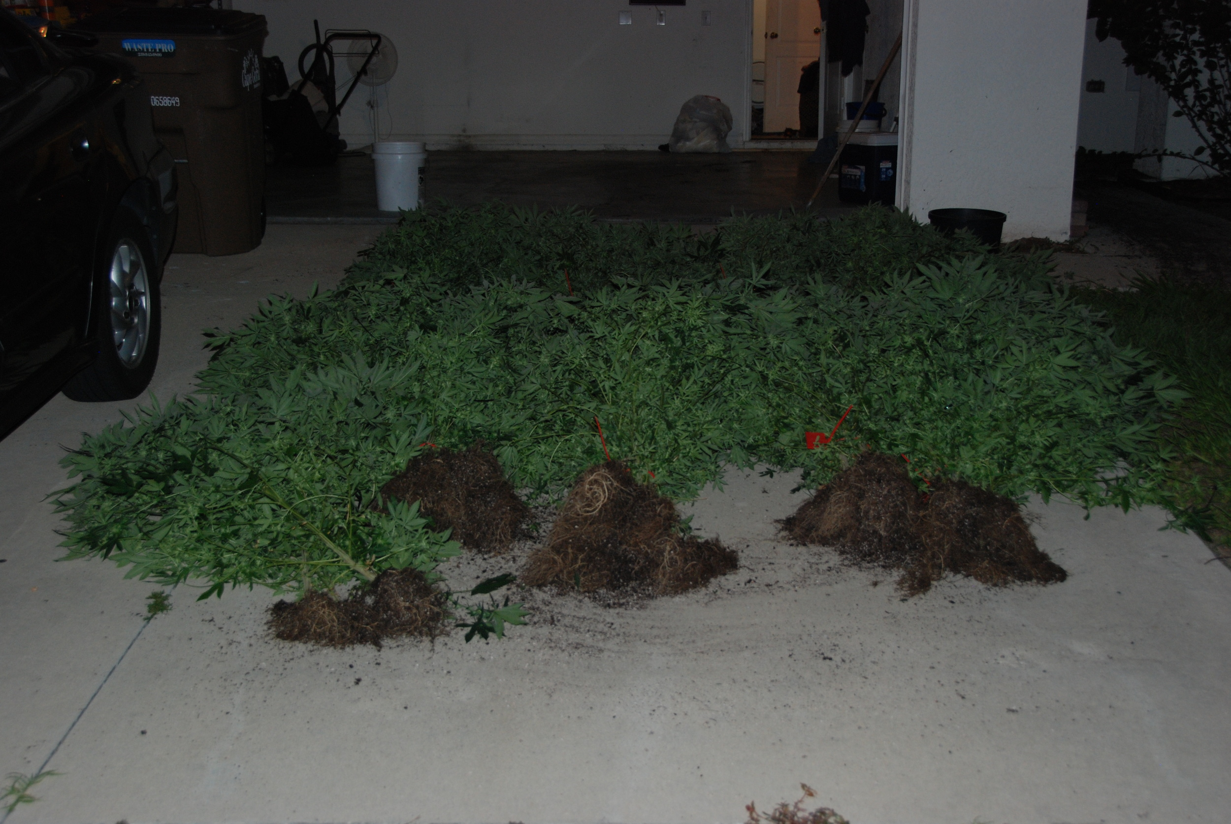 PHOTO: Cape Coral Police Department took down a marijuana grow house operation in NW Cape Coral last night, seizing 151 lbs. of marijuana and arresting two for Cultivation and Trafficking. Pictured here is an exterior view of the home (with numerous pot plants) located at 51 NW 33rd Terrace, Cape Coral. (Photo Courtesy ofCape Coral Police Department)