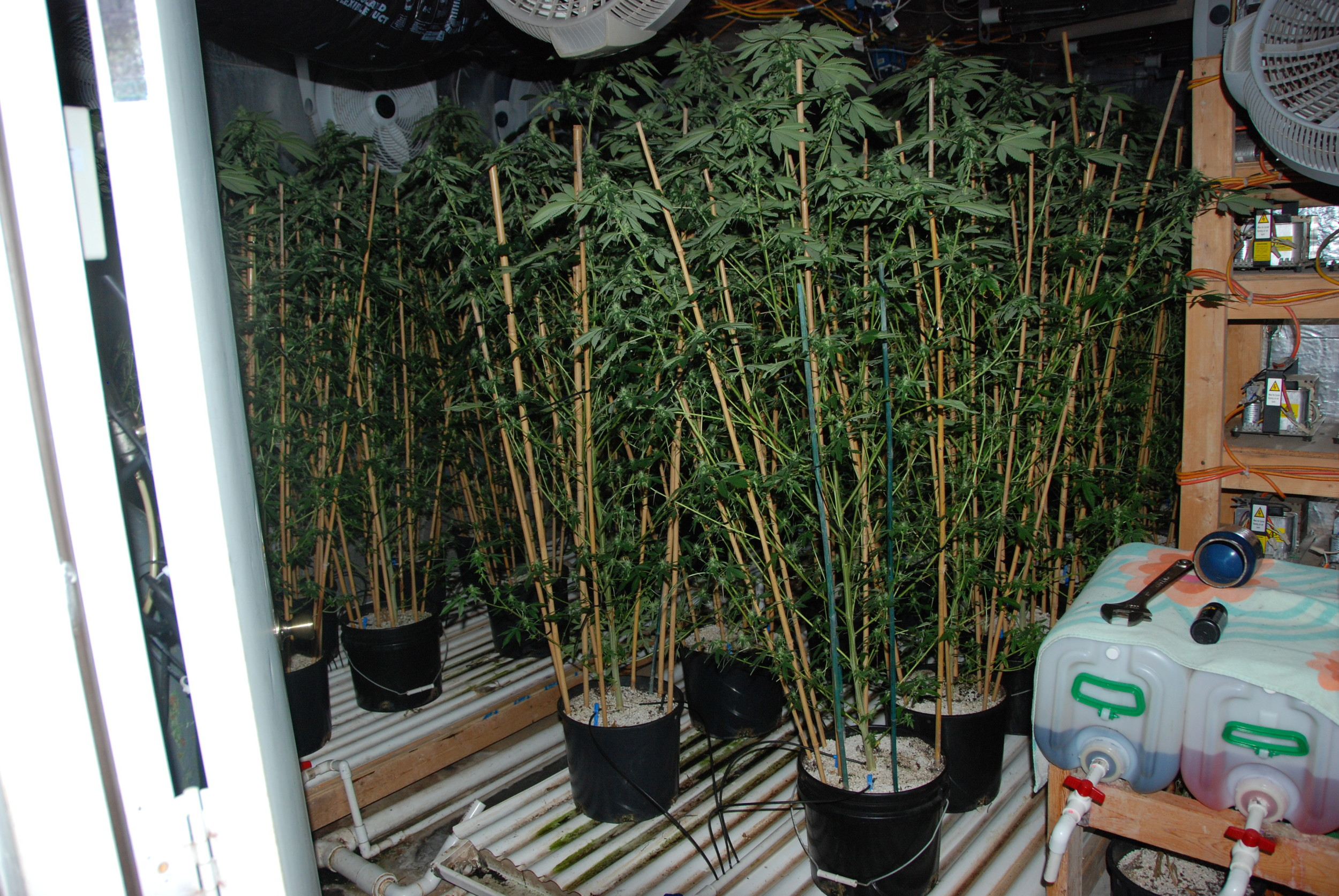 PHOTO: Cape Coral Police Department took down a marijuana grow house operation in NW Cape Coral last night, seizing 151 lbs. of marijuana and arresting two for Cultivation and Trafficking. Pictured here is an interior view of the home (with numerous pot plants) located at 51 NW 33rd Terrace, Cape Coral. (Photo Courtesy ofCape Coral Police Department)