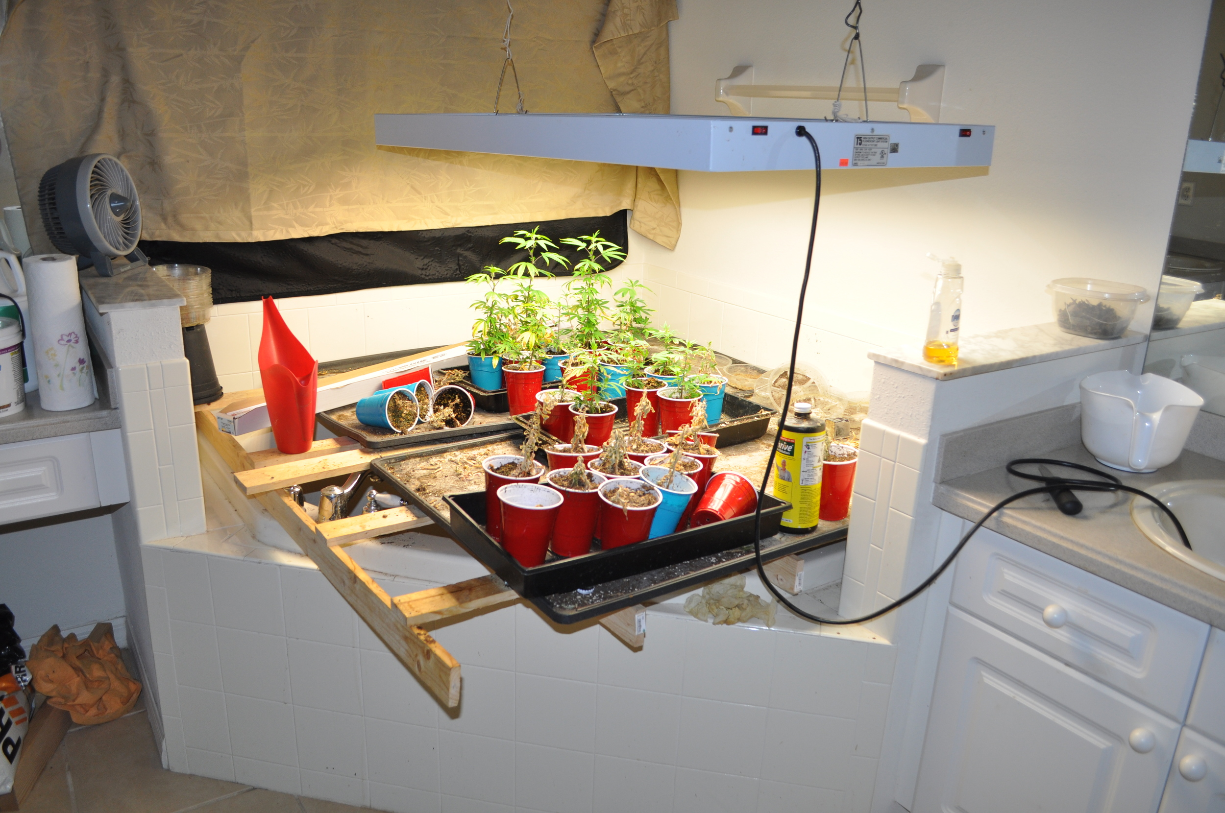 PHOTO:  The investigation yielded a total of 31 marijuana plants (18 full-grown, 13 baby plants), weighing a total of 119.7 pounds, with a street value in excess of of $75,000 to $100,000 dollars and a large amount of drug paraphernalia used to support the cultivation operation.  (Photo Courtesy of Cape Coral Police Department)