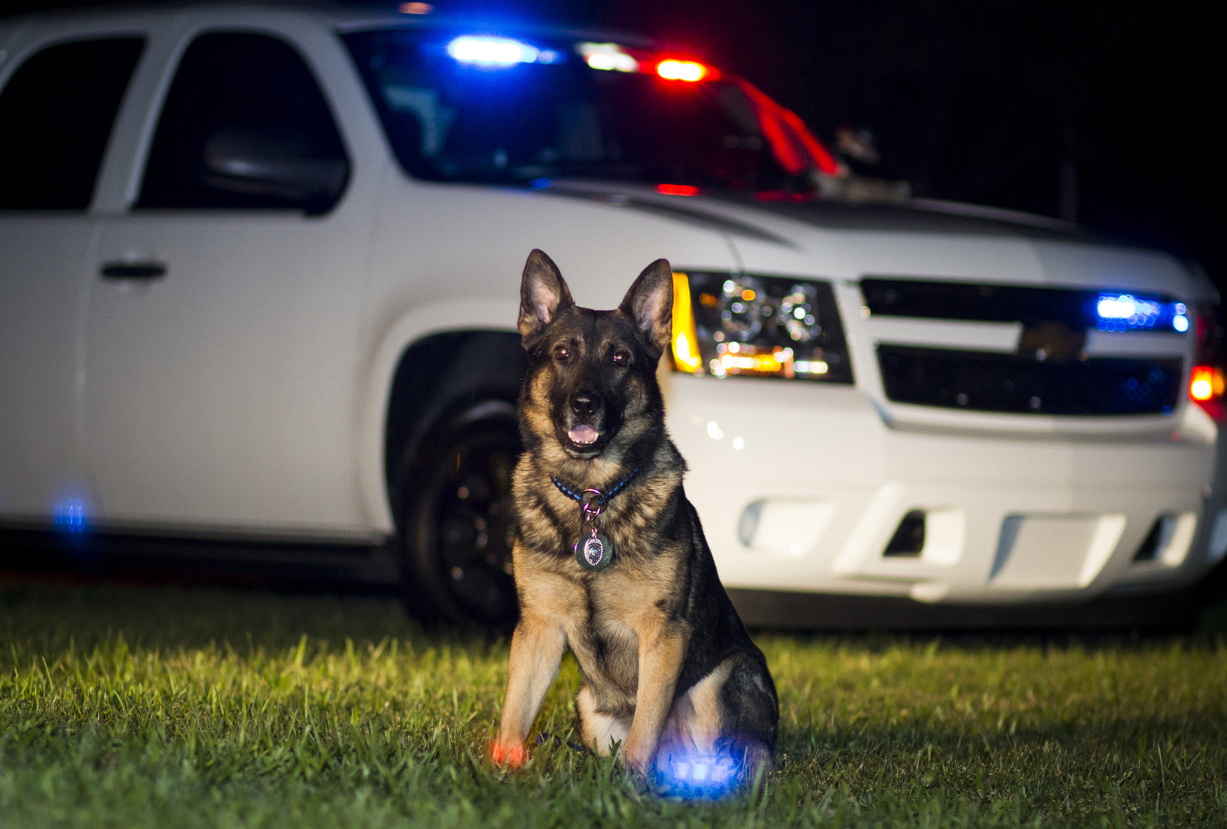 K-9 Kevin, who just recently retired after 8 years of service to Cape Coral. (Photo Courtesy of Portraits by Emma-Louise)