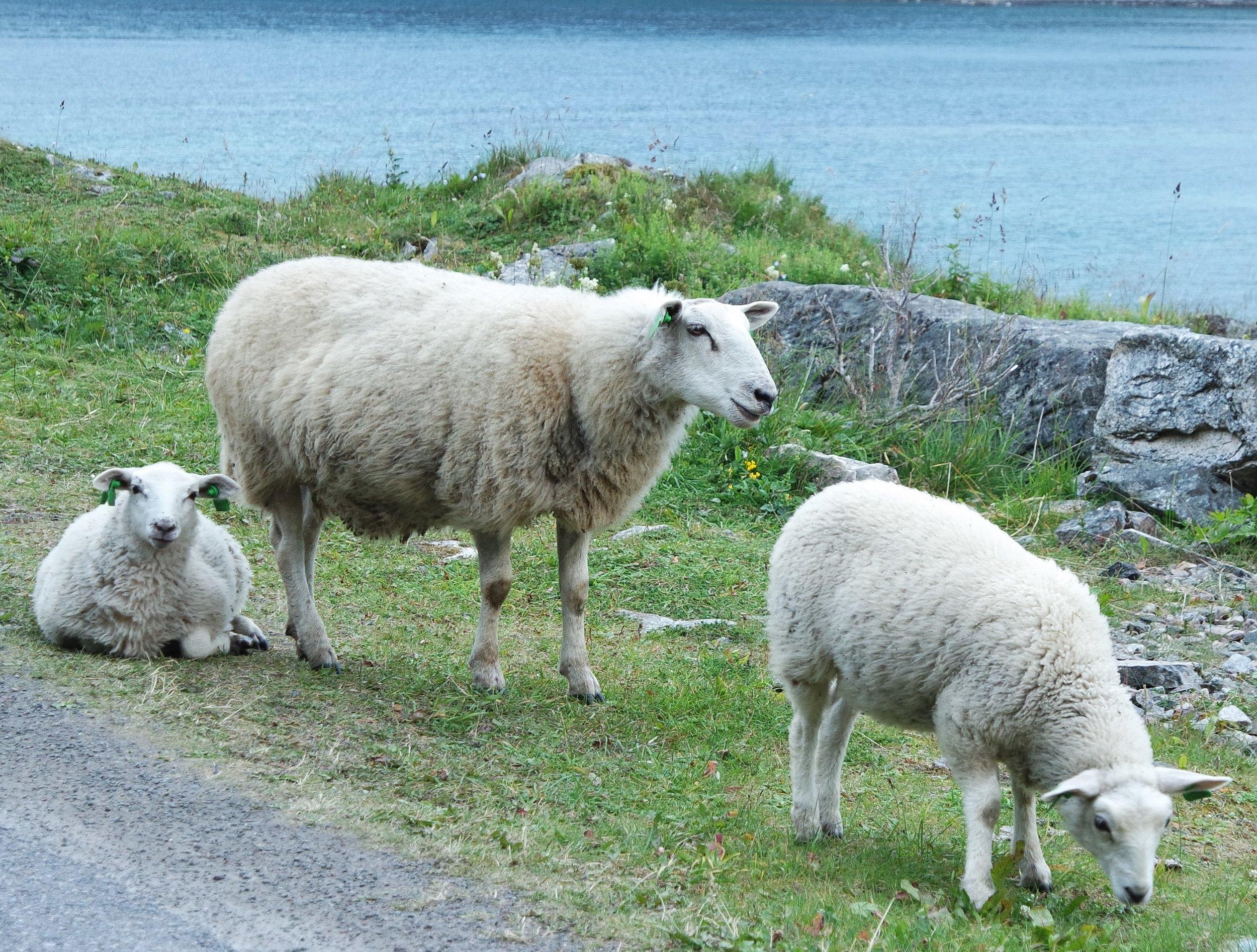 Sauer på beite i Lofoten.