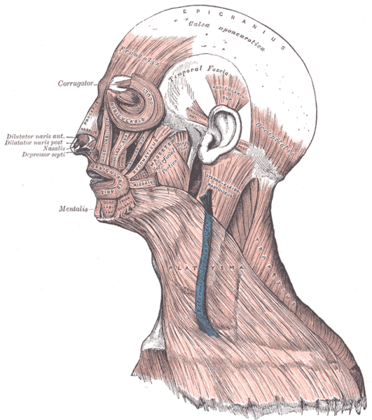 Original image can be found at: https://en.wikipedia.org/wiki/Facial_muscles