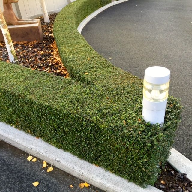boxwood marking the edge of the driveway