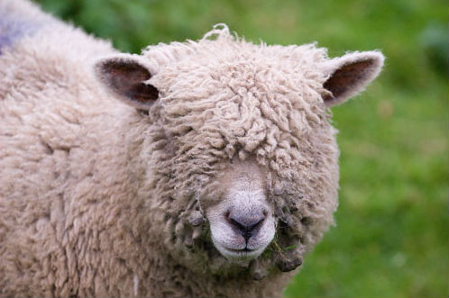 We wont pull the wool over your eyes