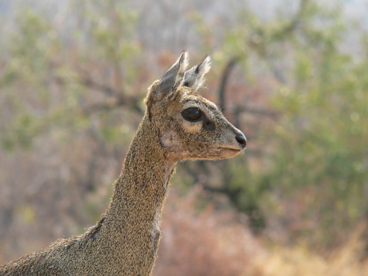 Klipsringer Female