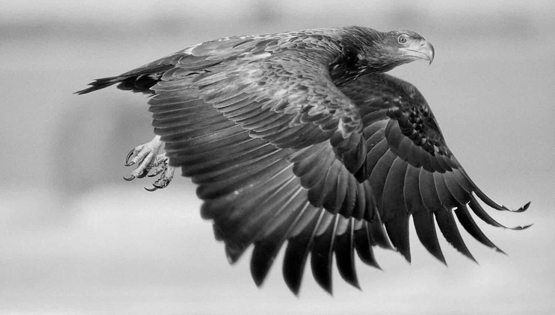 Baltic Sea Eagle, Photo, Eero Murtomäki