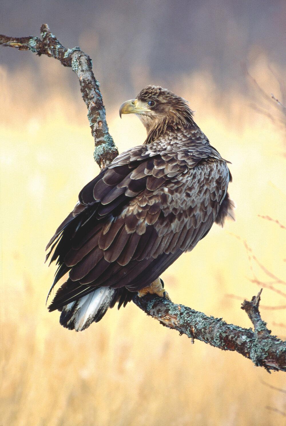 Baltic Sea Eagle, Photo - Eero Murtomäki