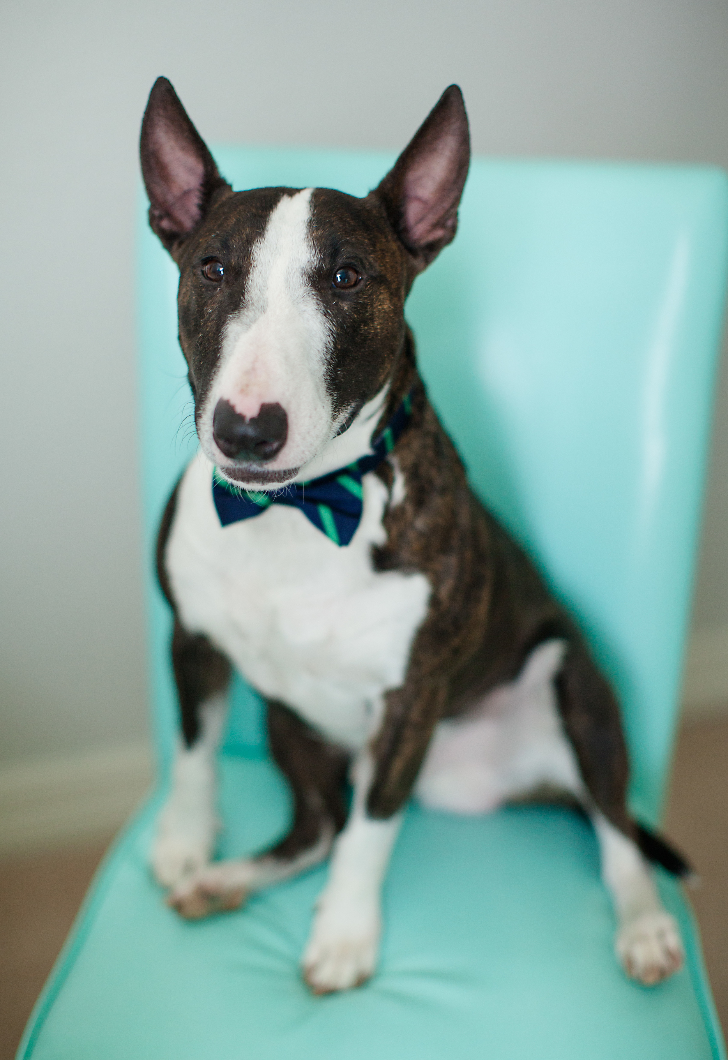 This is our miniature bullterrier, Zieg. My husband named him after one of his favorite beers!