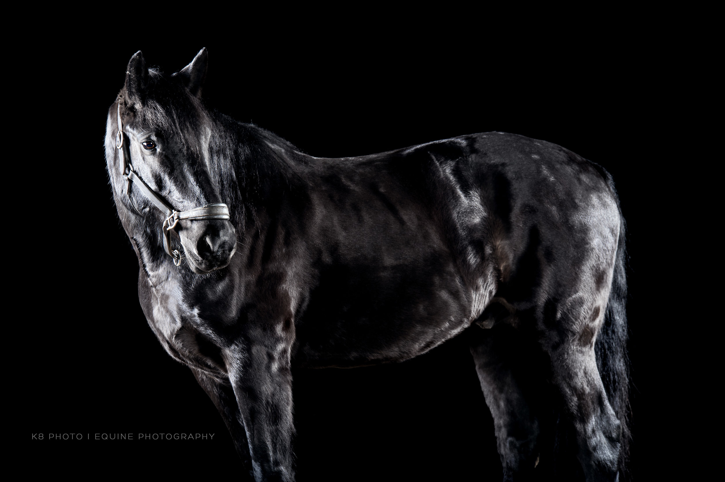 Moses. Friesian Percheron Oldenburg