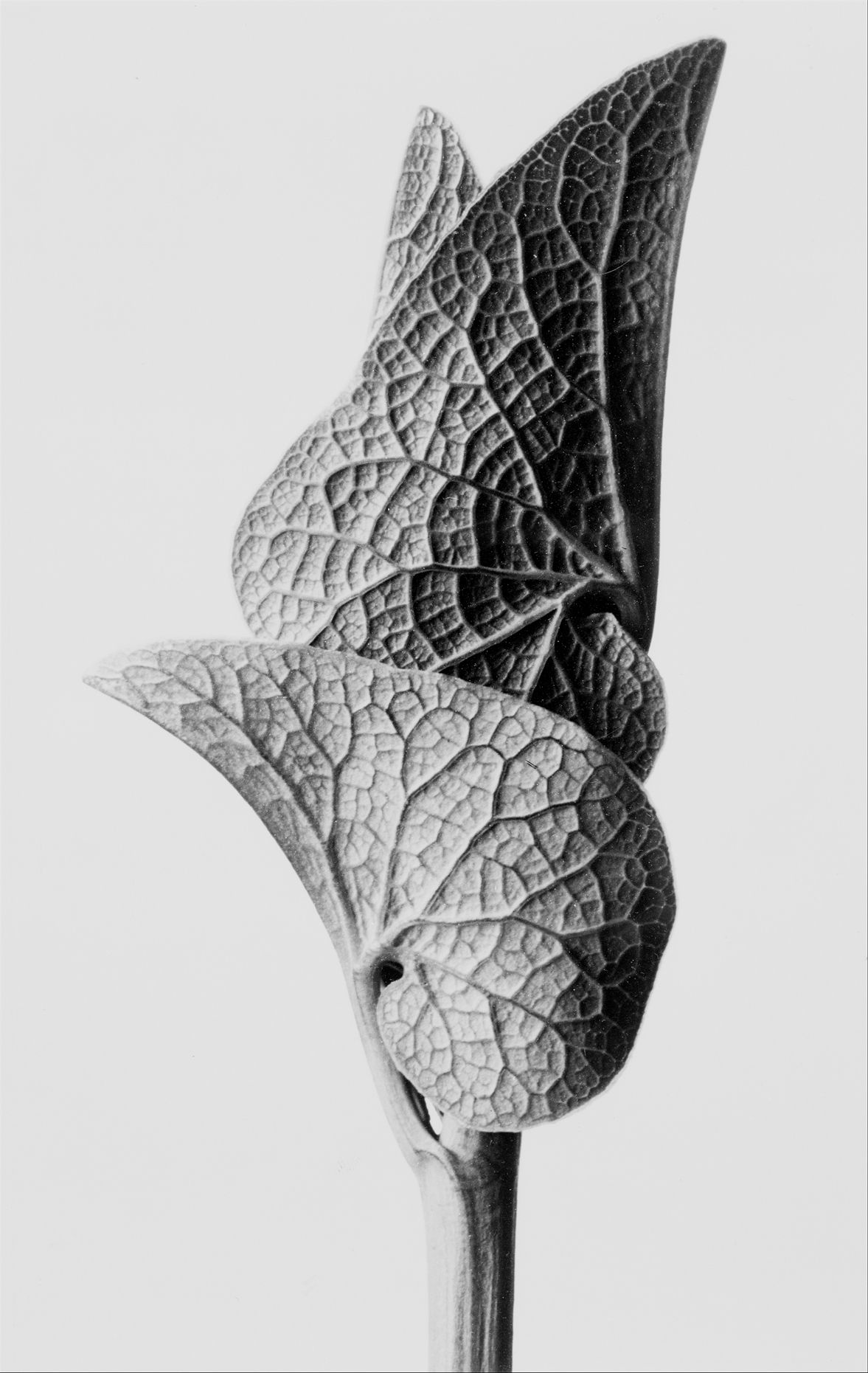 Karl Blossfeldt Aristolochia.jpg