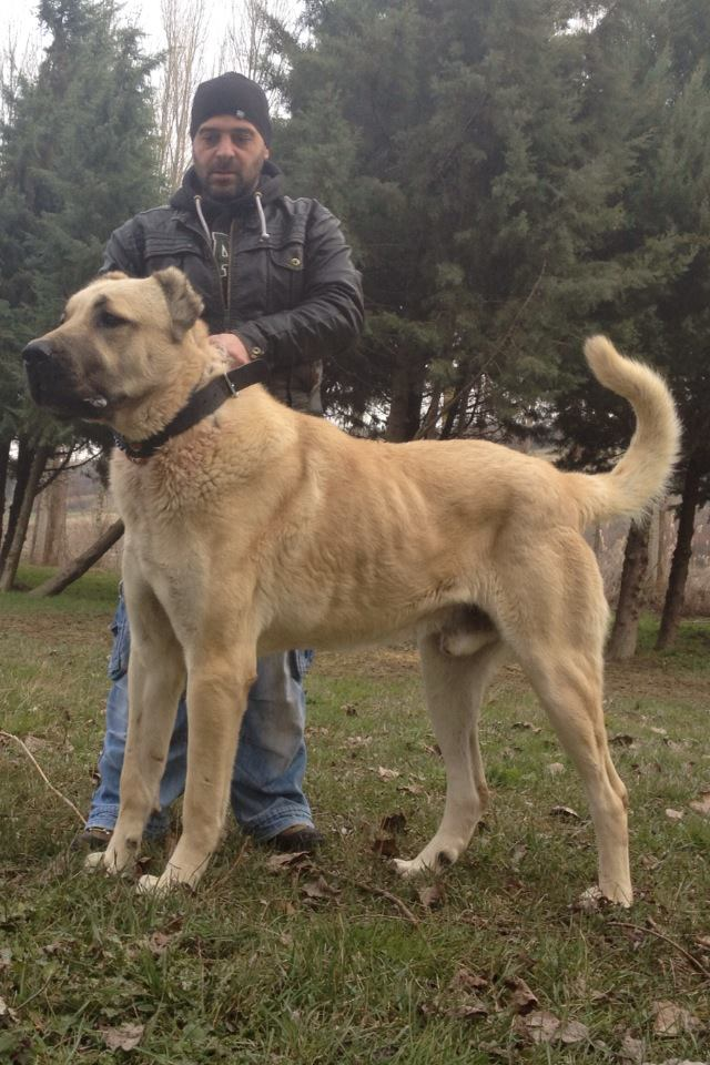 A prime example of a Turkish Boz Shepherd male; notice size, balance, musculature, coat color and length, and structure.