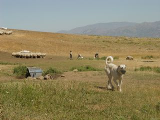 The Turkish Boz Shepherd's keen intelligence and ability to assess and appropriately react with measured response makes them extremely effective livestock guardians and family protection dogs.