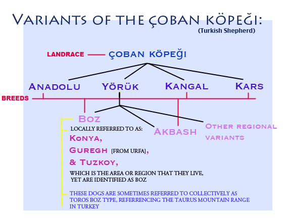 A diagram explaining the  çoban köpeği (Turkish Shepherd ) landrace and its variants. The information has been provided by numerous validated Turkish resources and pays respect to the breeds turkish roots and its originating peoples.