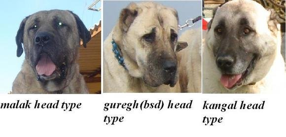 Here, the differences in skull structure and appearance between the Malak, (Guregh) Turkish Boz Shepherd, and Turkish Kangal are quite evident.