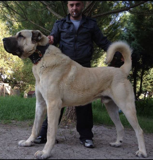 The Turkish Boz Shepherd is heavy-boned, but not excessively so, with a square profile and no pronounced stop as is seen in the Malak.