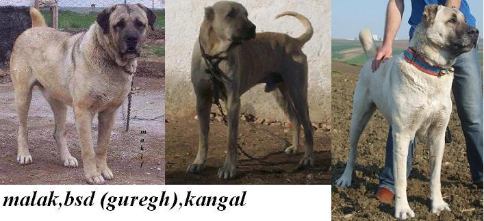 Here, the differences between the Malak, (Guregh) Turkish Boz, and Kangal bone structure and overall appearance are quite evident.  While they do share similarities, all are distinctively separate and unique to their breed.